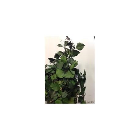 HEDERA (KLIMOP) GECONSERVEERD (GESTABILISEERD) GROEN +/-200GR