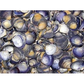 SCHELPEN CHIPPY BLUE (PURPLE CAY CAY) +/-1KG
